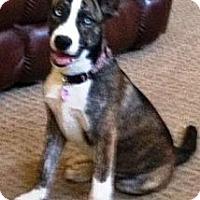 Adopt A Pet :: Athena - Gilbert, AZ