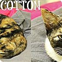 Adopt A Pet :: Cotton - Mobile, AL