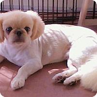 Adopt A Pet :: Chewie - Orlando, FL