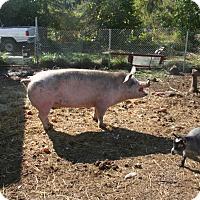 Pig (Farm) for adoption in Bellingham, Washington - Samantha