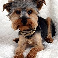 Adopt A Pet :: Tony-Adoption pending - Bridgeton, MO