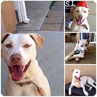 Labrador Retriever/Staffordshire Bull Terrier Mix Dog for adoption in Los Angeles, California - Lina