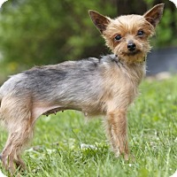 Adopt A Pet :: CAPRI - Ile-Perrot, QC