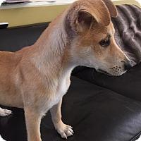 Adopt A Pet :: Ariel (fostered in Texas) - Cranston, RI