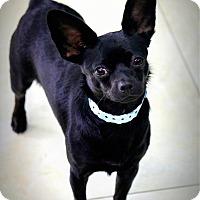 Adopt A Pet :: Dolce - Ft. Lauderdale, FL