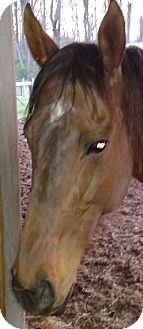 Thoroughbred Mix for adoption in Chadds Ford, Pennsylvania - Jazmine (Show Me Baby)