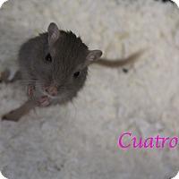 Adopt A Pet :: Cuatro - Bradenton, FL