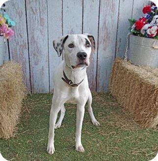 Dalmatian/Pointer Mix Dog for adoption in Tampa, Florida - Dante