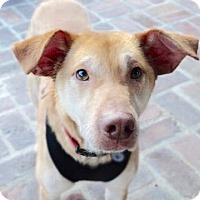 Adopt A Pet :: Gunner-URGENT - Burbank, CA