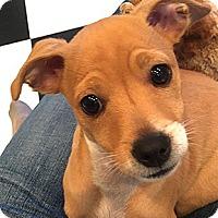 Adopt A Pet :: Chibi - Oakland, CA