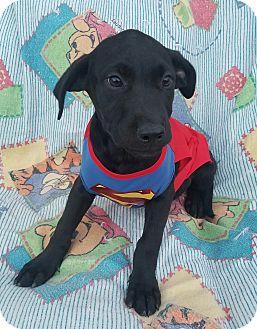Labrador Retriever Mix Puppy for adoption in Manchester, New Hampshire - Quin