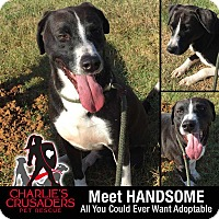 Adopt A Pet :: Handsome - Spring City, PA