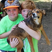 Catahoula Leopard Dog/Terrier (Unknown Type, Medium) Mix Puppy for adoption in Godley, Texas - Vermilion