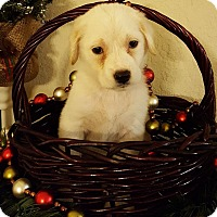 Labrador Retriever Mix Puppy for adoption in Fort Atkinson, Wisconsin - LUCINDA