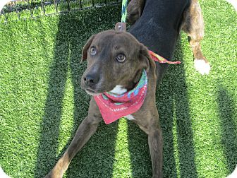 Plott Hound Mix Dog for adoption in Cumming, Georgia - Chance