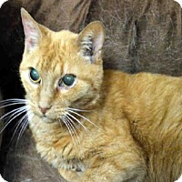 Adopt A Pet :: MARMALADE - Olathe, KS