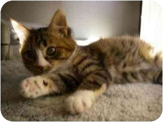 Domestic Shorthair Kitten for adoption in Davis, California - Gretchen