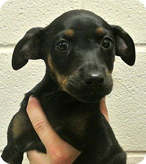 Rottweiler/Shepherd (Unknown Type) Mix Puppy for adoption in white settlment, Texas - Velvet