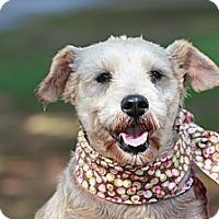 Adopt A Pet :: Jazzy - Albany, NY