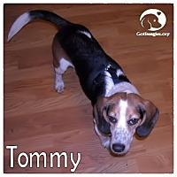 Adopt A Pet :: Tommy - Novi, MI
