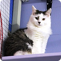 Adopt A Pet :: Agate - Mission, BC