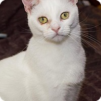 Domestic Shorthair Cat for adoption in Philadelphia, Pennsylvania - Yasmine