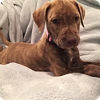 Adopt A Pet :: Carmella - Lewisville, IN