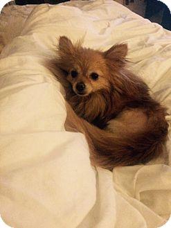 Pomeranian Mix Dog for adoption in El Sobrante, California - Cherry