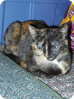 Domestic Shorthair Cat for adoption in Whiting, Indiana - Reegan