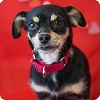 Adopt A Pet :: Grits - Bradenton, FL