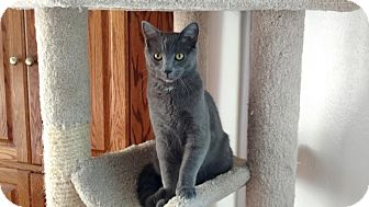Domestic Shorthair Cat for adoption in Colorado Springs, Colorado - Xeric