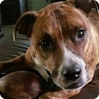 Boxer/Bullmastiff Mix Dog for adoption in Akron, Ohio - Jamison
