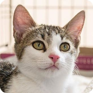 Domestic Shorthair Kitten for adoption in New York, New York - Malcolm