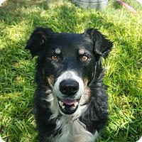 Adopt A Pet :: Oreo PB - Schertz, TX