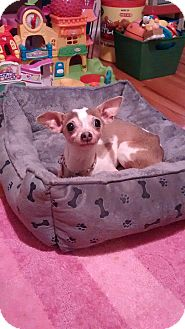 Chihuahua Mix Dog for adoption in Mount Laurel, New Jersey - Lola