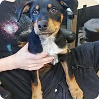 Adopt A Pet :: Shino - Chicago, IL