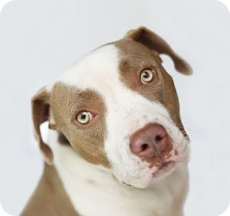 American Pit Bull Terrier Mix Dog for adoption in LOS ANGELES, California - Maia