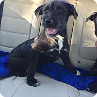 Adopt A Pet :: Sequoia - Studio City, CA