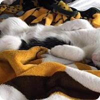Domestic Shorthair Kitten for adoption in Middleton, Wisconsin - Peanut