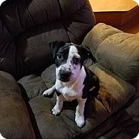Adopt A Pet :: Rousey - joliet, IL