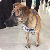 Adopt A Pet :: Purity aka Tiger - Hayes, VA
