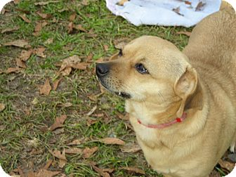 Chihuahua Mix Dog for adoption in Daleville, Alabama - Paisley