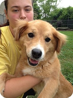 Golden Retriever Mix Dog for adoption in Portland, Maine - Marilyn