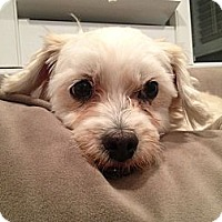 Adopt A Pet :: Dash - Los Angeles, CA