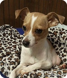 Chihuahua Dog for adoption in Seneca, South Carolina - Laney