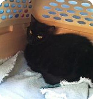 Domestic Shorthair Cat for adoption in Medford, New Jersey - Kole (Vince's Cat)