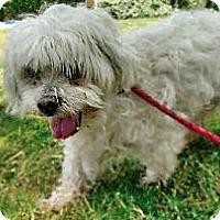 Adopt A Pet :: Magoo - Austin, TX