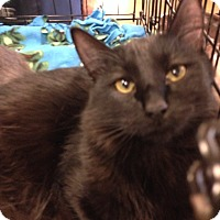 Domestic Shorthair Cat for adoption in San Ramon, California - Raven
