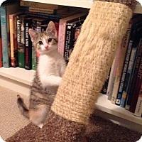 Adopt A Pet :: Piaf - Covington, KY