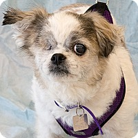 Shih Tzu/Chihuahua Mix Dog for adoption in Lansing, Michigan - Winnie Dot